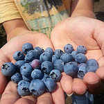 Pick Local Blueberries